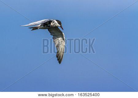 Marsh tern in Arugam bay lagoon, Sri Lanka ; specie Chlidonias hybrida family of Laridae
