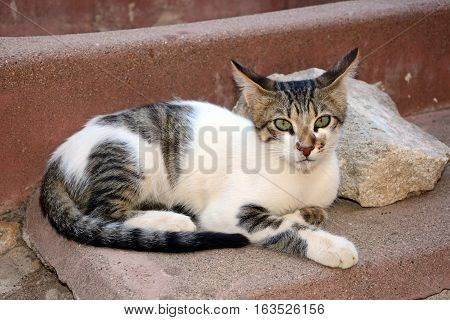 Grey tabby Cretan cat relaxing in the grounds of the Agia Triada monastery Crete Greece Europe.