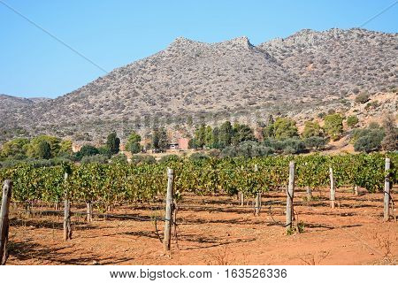 Grapevines in fields next to the Agia Triada monastery Agia Triada Crete Greece Europe.