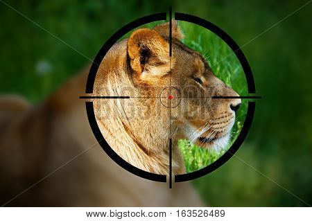 Big game hunting - Lioness in the rifle sight