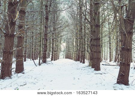 A winter scene with a pathway alley through rows of trees