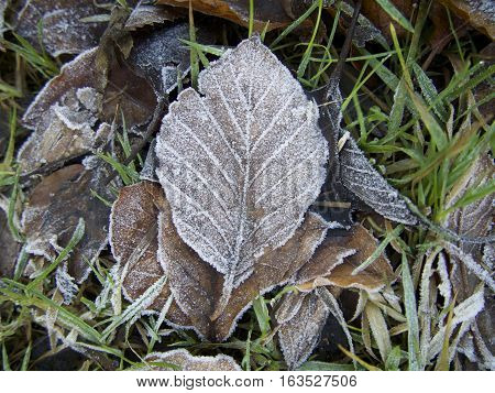 Isolated Frosted brown leaf on pile of frost covered leaves with grass