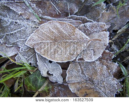 Frosted brown leaf on pile of frost covered leaves with grass