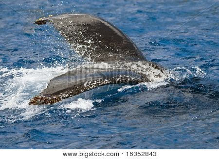 Humpback Whale Submerging