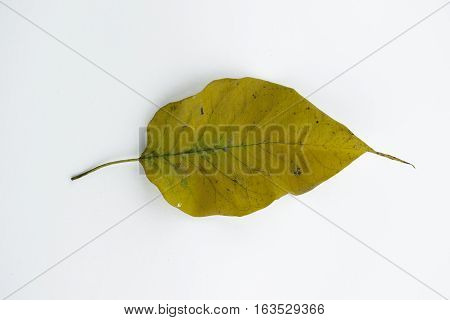 Up view of fallen leaf on white background