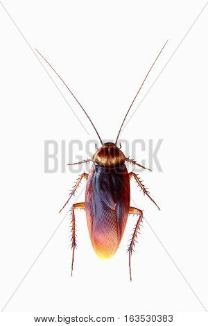 Close-up of brown cockroach on white background