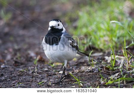 a motacillidae or wagtail out for a stroll