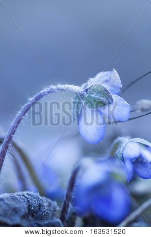 an early blossoming blue anemone or liverleaf