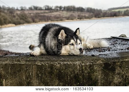 Siberian Husky laying down on reservoir jetty