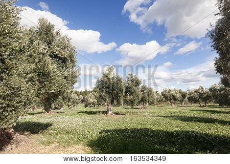 Los Ports mountain. Olive tree. Teruel province. Spain