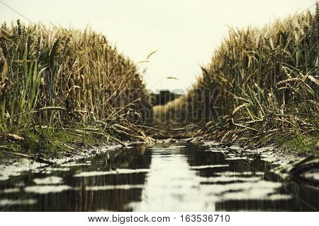 macro photo of a wheat field with a track from the wheel in which the water is gathered