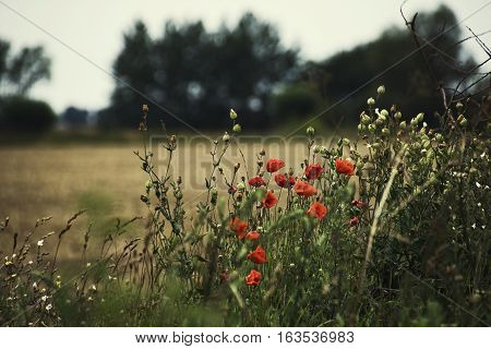 red poppy flowers in acre wheat field with blurred background