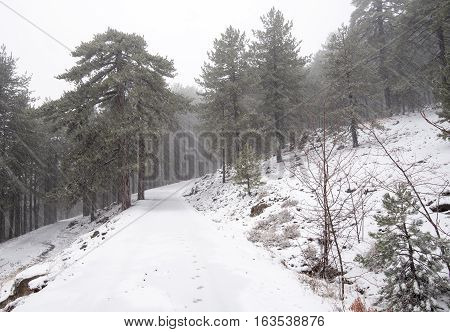 Winter forest landscape just after the first snow at Troodos mountains in the island of Cyprus