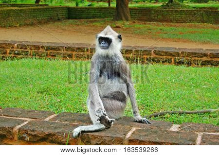 Tufted Gray Langur in the park in Sri lanka