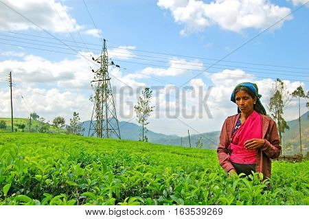 NUWARA ELIYA, SRI LANKA - FEBRUARY18, 2014: Woman from Sri Lanka picks in tea leaves on tea plantation  in Nuwara Eliya, Sri Lanka. Ceylon is one of the largest producers of tea.