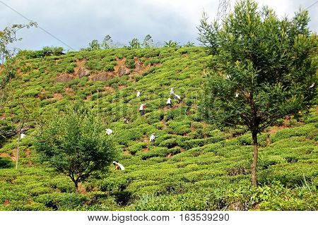 KANDY, SRI LANKA - FEBRUARY 18, 2014: Tea pickers at work near Kandy Sri, Lanka.