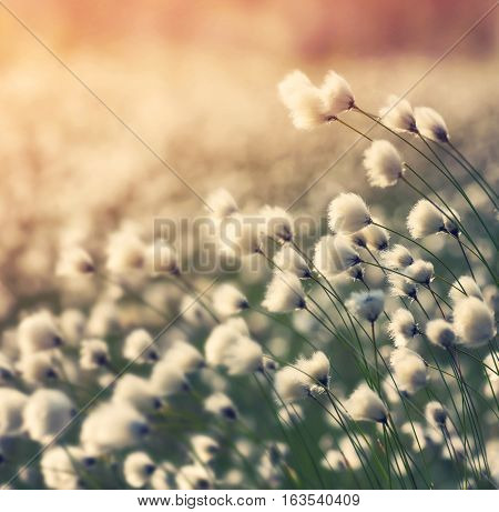 Blooming cotton grass on background of colorful sunset
