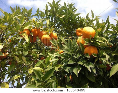 oranges on a tree sanctified by the sun