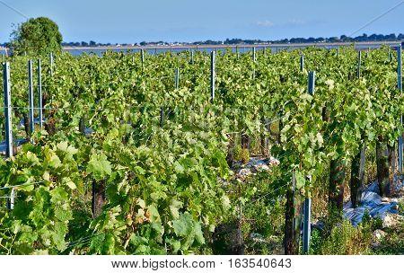 La Flotte France -  vineyard in autumn