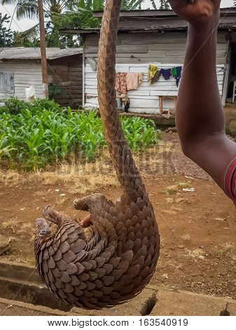 Endangered African pangolin being held up by the tail for sale by poacher at side of road, Cameroon, Africa.