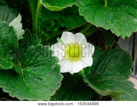 Strawberry Flowers At The Garden