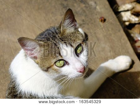 A cat sitting on the wooden floor and looking at the camera. Close up.