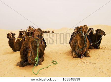 Four camels in Sahara desert, Tunisia, Northen Africa