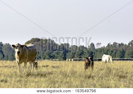 Commercial beef cows in a dormant bermuda grass pasture in November
