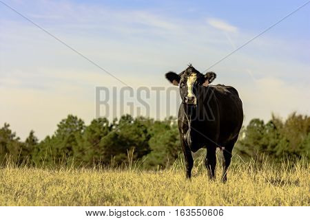 Lone Angus crossbred cow standing in a pasture of brown dormant grass with blue sky