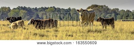 panoramic view of commercial crossbred brood cows and calves in a pasture