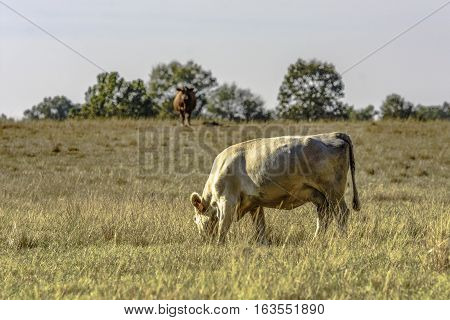 White commercial brood cow grazing dormant brown grass with another brown cow out of focus in the background