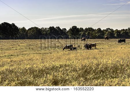 Commercial beef cows and calves in a dormant brown pasture in November