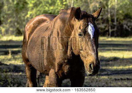 Brown gelding horse with white star standing