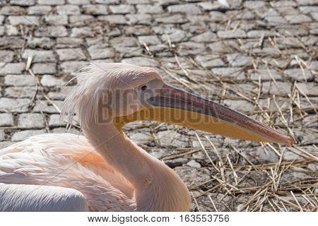 Great white pelicans (Pelecanus onocrotalus).Rose pelicans outdoor