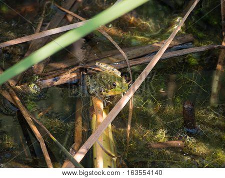 Bullfrog in the Pond in a Delaware County Ohio park