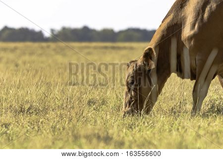 Head and neck of red beef cow grazing brown dormant grass with blank area to the left
