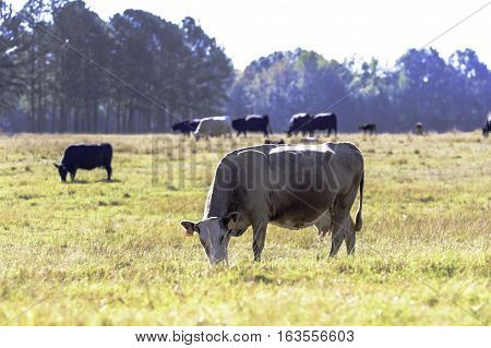 Commercial brood beef cow that has lost weight grazing in a drought-stricken pasture with herdmates in the background