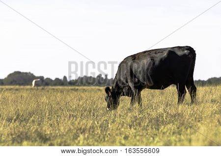 Thin Angus cow grazing in a drought-stricken pasture with blank area to the left