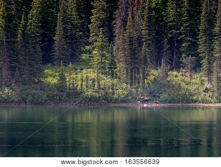 Mother and Baby Moose Across Lake in Montana wilderness