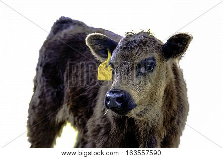 Angus crossbred calf with yellow ear tag looking across body - isolated