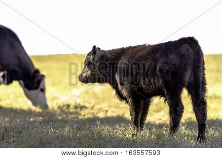 Black Angus crossbred calf standing in a dormant pasture with a grazing cow in the background.