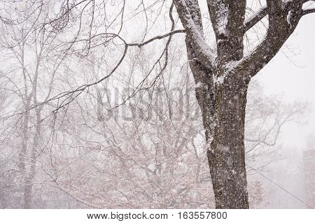 Maple and Oak Trees in Snowstorm Winter Wonderland Snowy Background Image with falling snow in blizzard weather room for copy space
