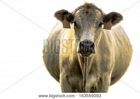 Head on view of a pregnant white commercial beef cow - isolate