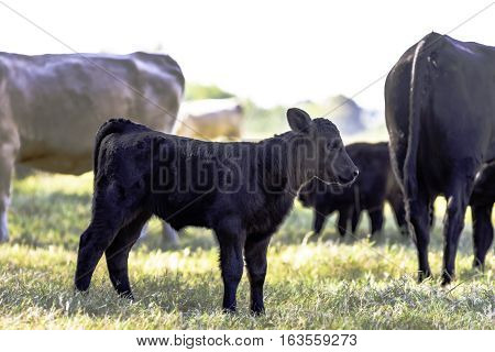 Black Angus crossbred calf standing in the herd in a pasture