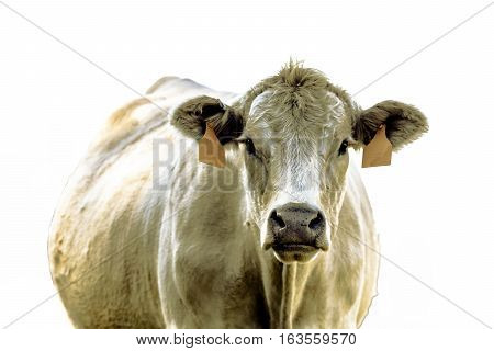 White commercial beef brood cow facing forward from chest up - isolated