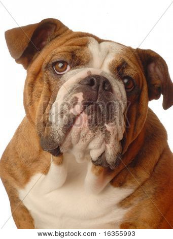red brindle english bulldog female - one year old - champion bloodlines