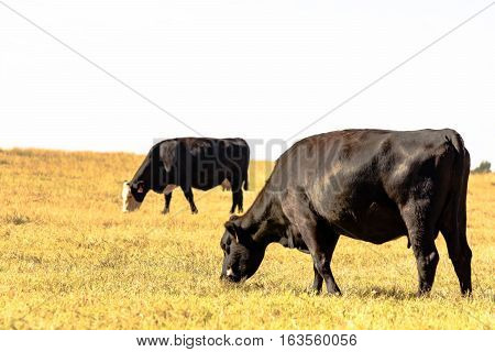 Black Angus crossbred cattle grazing in flat pasture