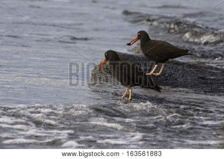 A pair of black Oystercatchers  feeding on coastal shoreline Victoria British Columbia Canada