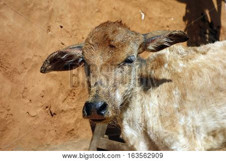 Young brown cattle standing staring in Myanmar