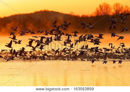 Thousands of migrating Snow Geese ( Chen caerulescens ) fly from a lake at sunrise in Lancaster County Pennsylvania USA.